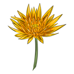 Yellow simple crysanthemum flower