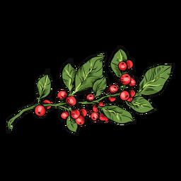 Mistletoe plant illustration mistletoe