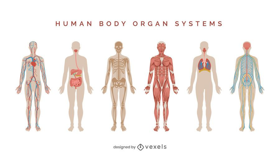 Human body systems illustration set