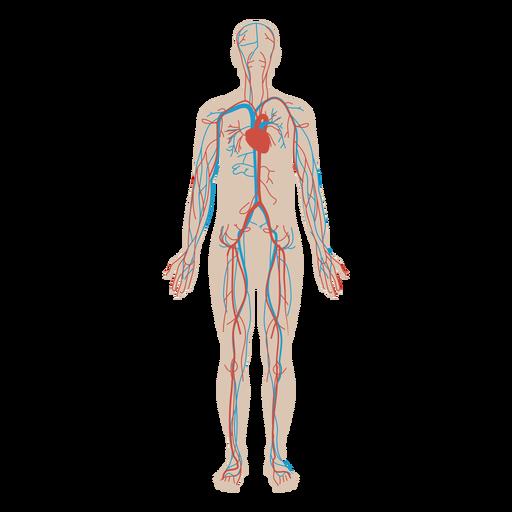 Circulatory system flat anatomy diagram