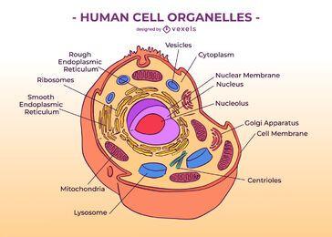 Ilustración de educación de células humanas